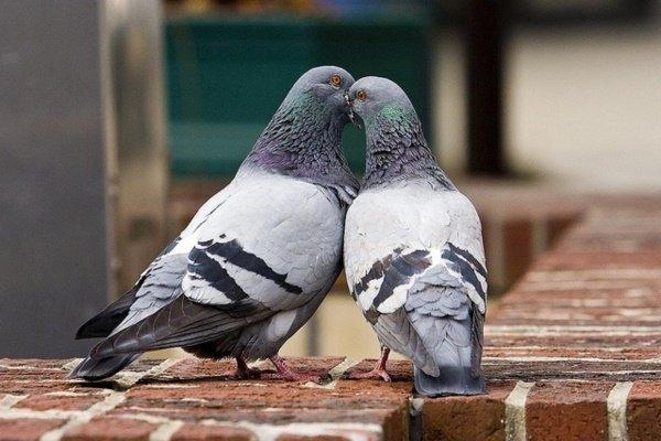 Особенности размножения голубей: возраст, виды спаривания и сам процесс