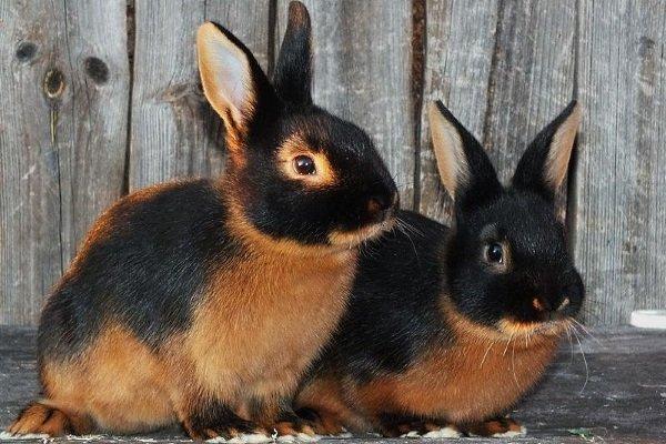 Особенности содержания и характеристика Чёрно огненных кроликов