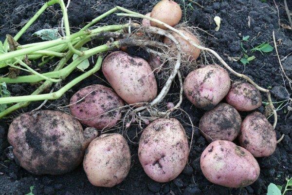 Особенности сорта картофеля «Романо»: характеристика, посадка и уход