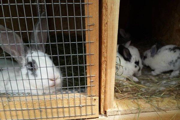 Отсадка крольчат от крольчихи: сроки и правила