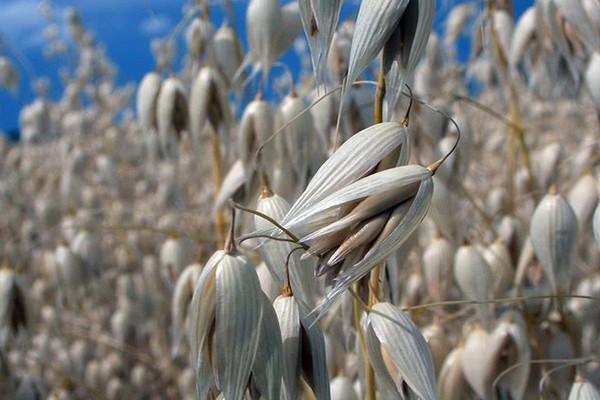 Овёс как сидерат для улучшения плодородия почвы