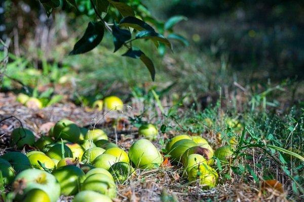 По каким причинам опадают яблоки, и как с этим бороться?