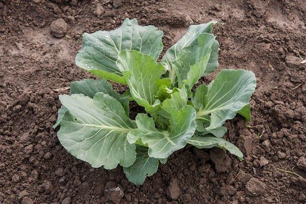 Почему капуста перестаёт расти? Варианты решения проблемы