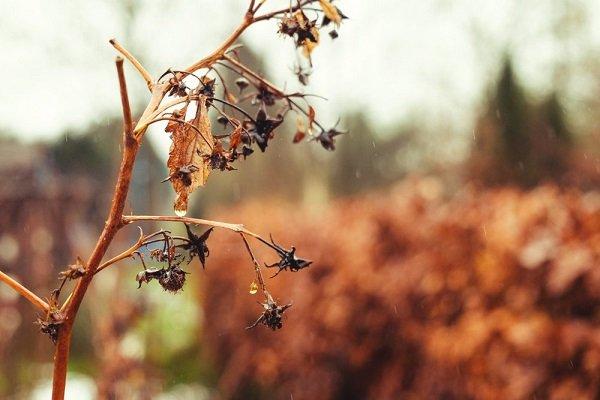 Почему малина сохнет: основные причины и методы решения проблемы