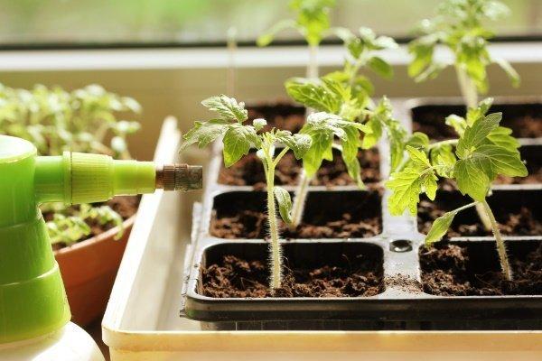 Подкормка рассады томатов: чем, когда и как?