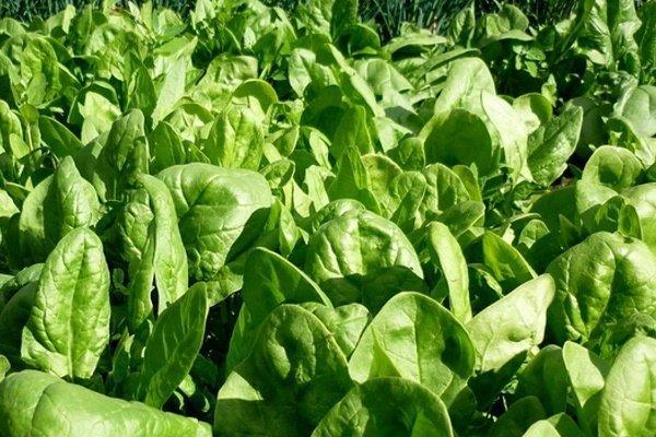 Популярные сорта и гибриды шпината