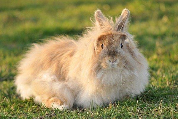 Порода Ангорского кролика: описание, правила содержания и разведения