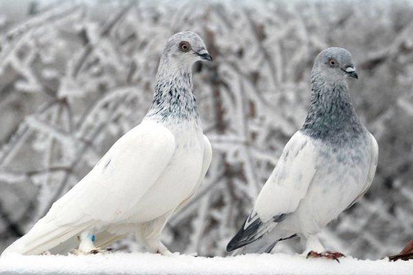 Порода голубей – венгерские высоколетные. Особенности содержания, питания, разведения