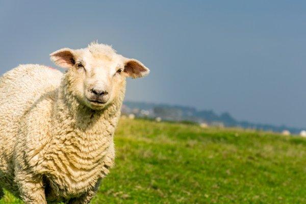 Порода овец Ромни марш: описание внешнего вида и содержания