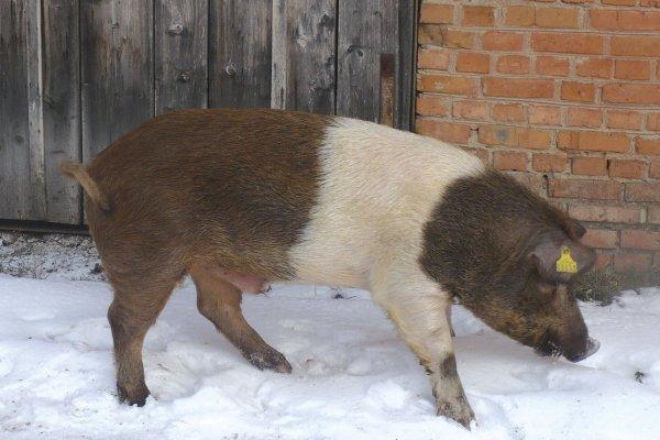 Порода свиньи «Красная белопоясая»: особенности разведения и выращивания