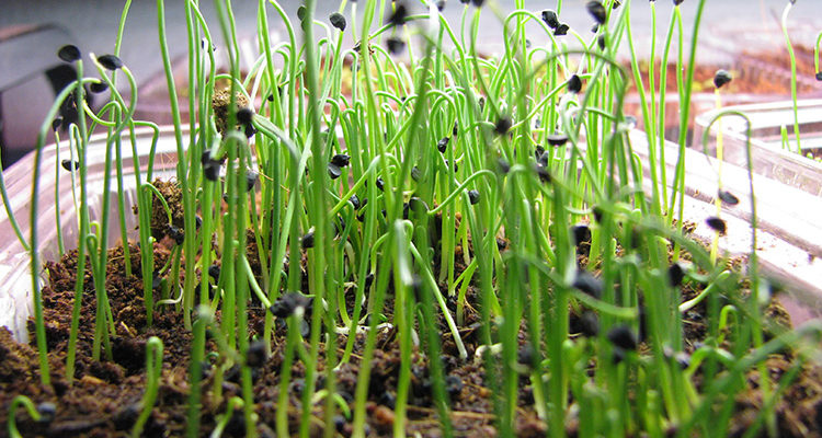 Посадка лука чернушки на рассаду дома в 2020 году