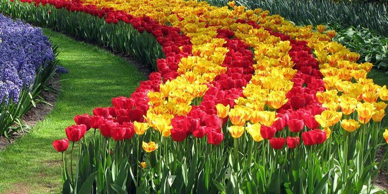Посадка тюльпанов осенью: сроки, место и правила выращивания