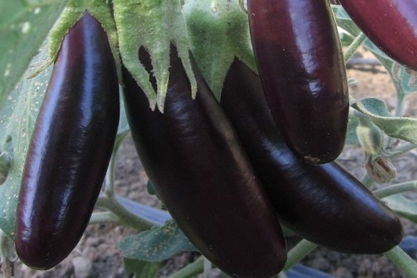 Правила сбора и хранения урожая баклажанов