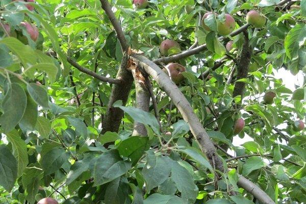Причины надлома яблони и действия садовода в этой ситуации