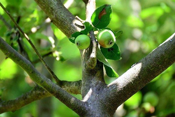 Причины полного и частичного отсутствия плодоношения у яблони