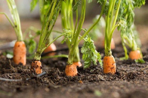 Причины пожелтения моркови и способы борьбы