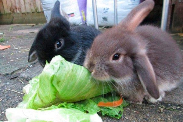 Продукты и жидкости, которые запрещено давать кроликам