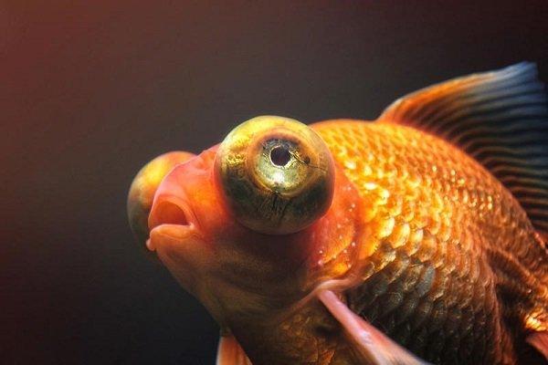 Пучеглазие у прудовых рыб – признаки, причины, лечение
