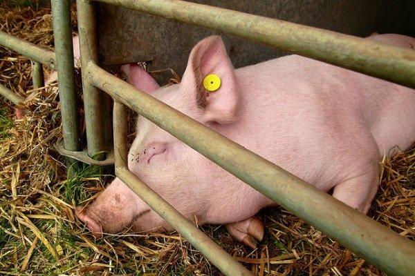 Пути заражения свиней пастереллезом, симптоматика, терапия и профилактика заболевания