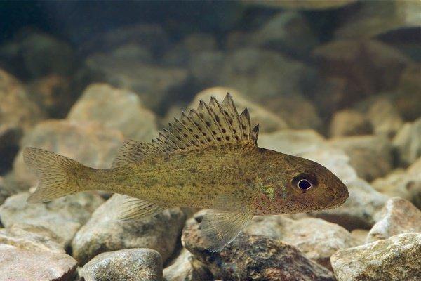 Рыба Ёрш обыкновенный: особенности, образ жизни, рыбалка и разведение