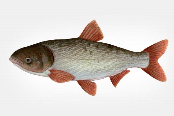 Рыба Толстолобик: характеристики, образ жизни, рыбалка и разведение