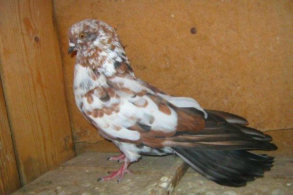 Серпастые голуби: описание птицы и особенностей её содержание