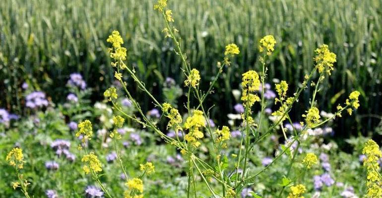 Сидераты для огорода – какие лучше сеять весной, осенью, отзывы