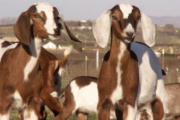 Сложности разведения Англо нубийских коз. И почему стоит рискнуть?