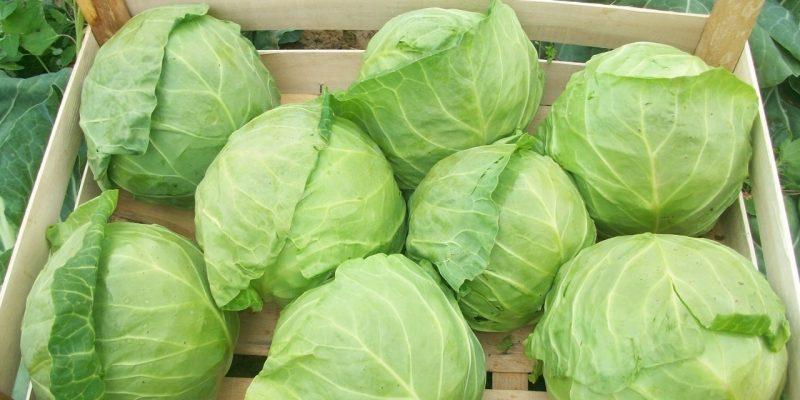 Сорт капусты, который всегда дает только высокий урожай в независимости от погодных условий