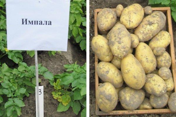 Сорт картофеля Импала: описание и особенности выращивания