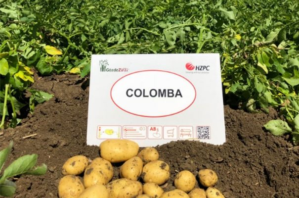 Сорт картофеля Коломбо – характеристика и описание, отзывы, фото