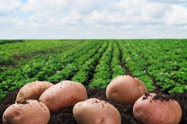 Сорт картофеля «Славянка»: описание, качества, выращивание и уход