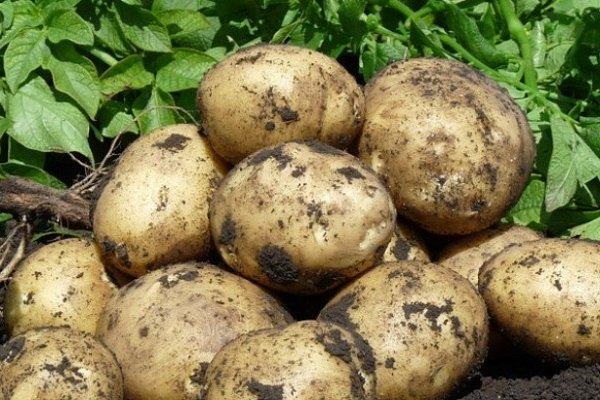 Сорт картофеля «Тимо»: качество, посадка и уход