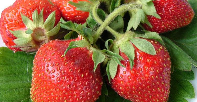Сорт клубники Царица – характеристика и описание, фото, отзывы садоводов