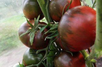Сорт томата Черный принц – описание и характеристика, фото, отзывы