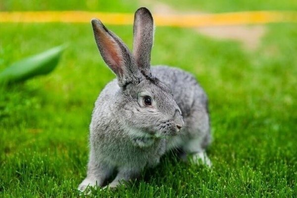 Советская шиншилла: описание универсальной породы кролика и особенности её содержания