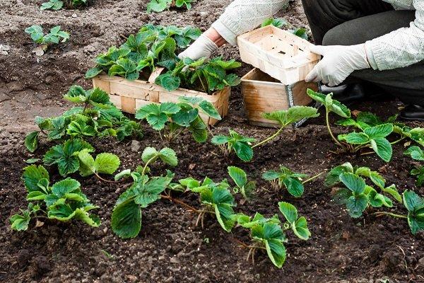 Сроки посадки земляники на рассаду и в открытый грунт