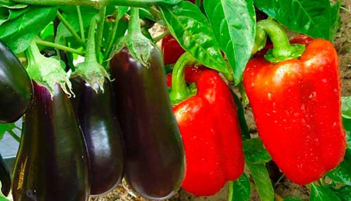 Суперметод богатого урожая перцев и баклажанов на месяц раньше обычного