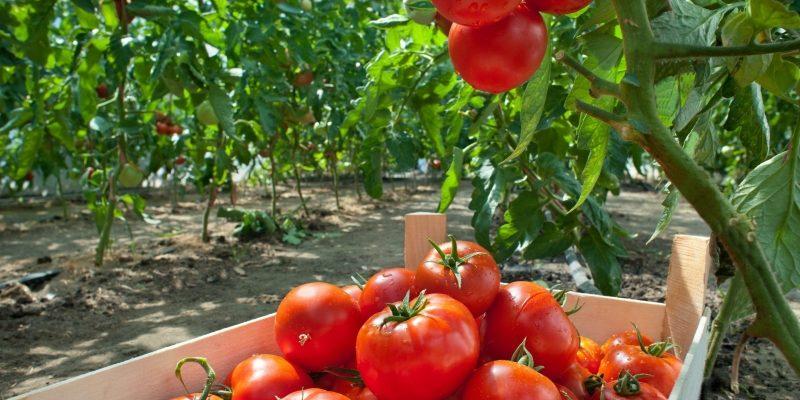 Три надежных томата для дачи, которые выдержат все капризы нашей погоды