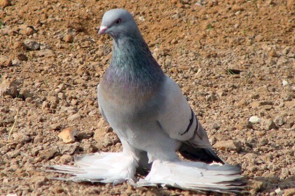 Туркменские агараны: особенности и содержание бойных голубей