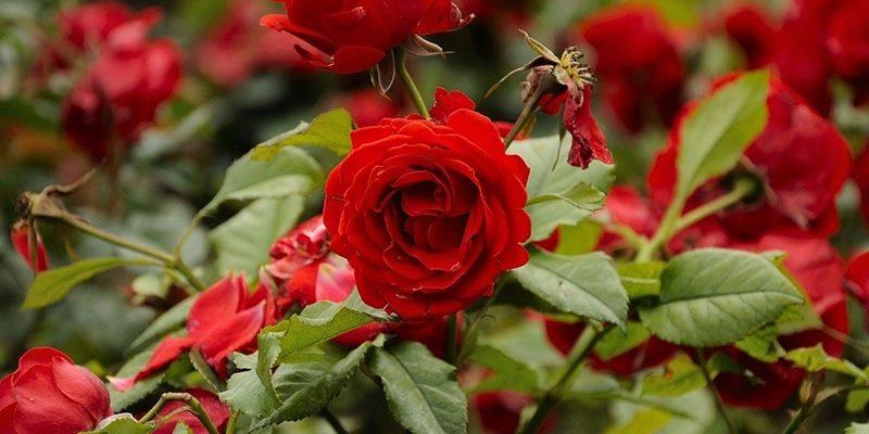 Уход за розами осенью. Подготовка к зиме: как это сделать правильно