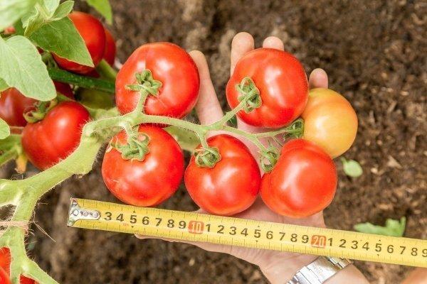 Ультраранний урожайный томат Любаша