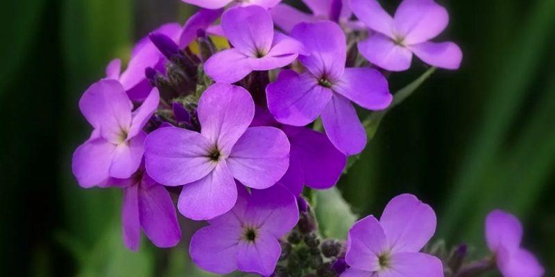 ВЕЧЕРНИЦА фото, описание и применение цветка