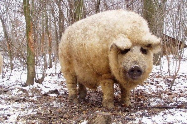 Венгерская Мангалица: характеристика и особенности содержания свиней