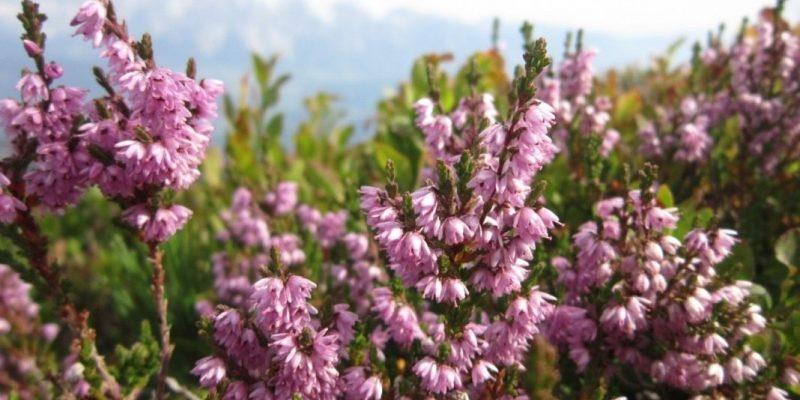 ВЕРЕСК ОБЫКНОВЕННЫЙ польза и вред, описание, фото растения