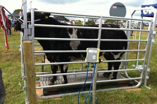 Вес коровы: от чего зависит и как узнать массу животного?