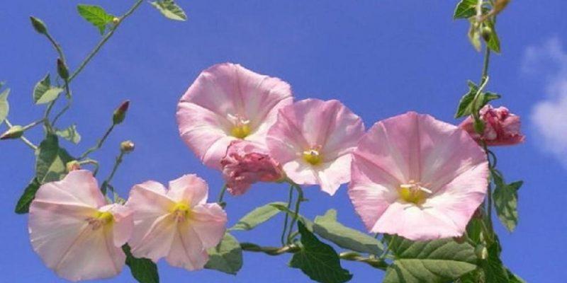 ВЬЮНОК ПОЛЕВОЙ лечебные свойства растения, описание, фото