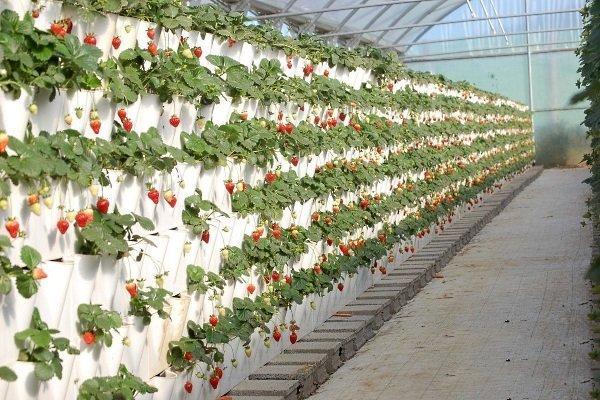 Вьющаяся клубника: описание и техника выращивания