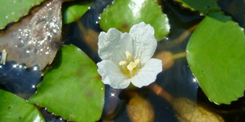 ВОДЯНОЙ ОРЕХ или ЧИЛИМ описание растения для водоемов