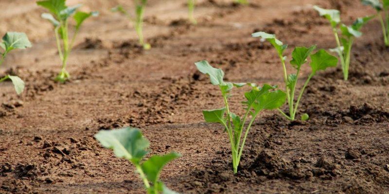 Все, что нужно знать о выращивании капусты в открытом грунте